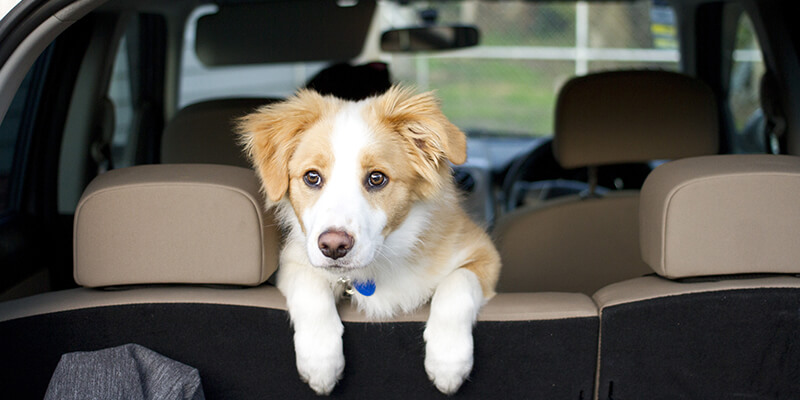 puppy in the back of a car